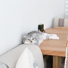 うちの子ベストショット/猫/猫との暮らし/猫との生活/スコティッシュ この顔、結構好き(笑) 寝る寸前の眠気と…(1枚目)