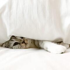 猫/スコティッシュフォールド/猫のいる暮らし/猫との生活 朝、飼い主のベッドの中でぬくぬくと眠って…