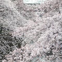 春の一枚/花見/散歩/お出掛け/お花見 近所の桜が満開になりましたー。 早速、お…