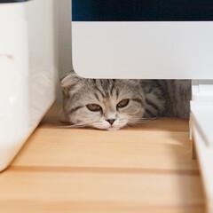 うちの子ベストショット/猫/猫との暮らし/猫との生活/スコティッシュ 私がパソコンに向かうと必ずやってきてデス…