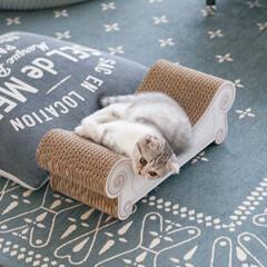 うちの子ベストショット/猫/スコティッシュ/子猫/猫との生活 飼い主の思惑通り、爪とぎベッドを活用して…