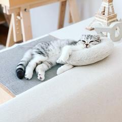 うちの子ベストショット/猫との暮らし/猫との生活/猫と暮らす/猫/スコティッシュ/... スコティッシュの女の子ぐう。生後3ヶ月半…