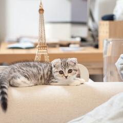 うちの子ベストショット/猫/子猫/スコティッシュ/猫との暮らし 人間の食事が終わって、横になるダンナのそ…