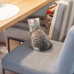 うちの子ベストショット/子猫/スコティッシュ/スコティッシュフォールド/猫との暮らし 人間の晩ごはんの支度中。アタシの椅子にち…