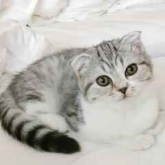 うちの子ベストショット/猫/スコティッシュ/子猫/猫との暮らし 今まで夜寝るときはぐうをケージに入れてた…