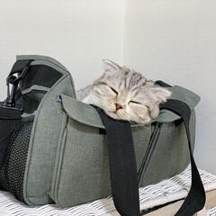 猫/猫との暮らし/猫との生活/スコティッシュ 私たちが寝室に行くと必ずやってきて一緒に…