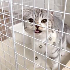 猫/猫との暮らし/猫との生活/スコティッシュ/うちの子ベストショット 避妊手術後「3日ほど激しい運動は控えて」…