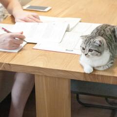 猫との生活/猫と暮らす/猫/スコティッシュフォールド ダンナが机にノートと本を広げると必ず邪魔…