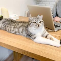 猫/猫との暮らし/猫のいる生活/スコティッシュ ダンナがパソコンを開くとかなりの確率で目…