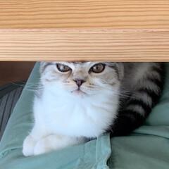 うちの子ベストショット/猫/猫との暮らし/猫との生活/猫と暮らす/スコティッシュ 私を見てー!と、膝の上に乗ってきて顔をあ…(1枚目)