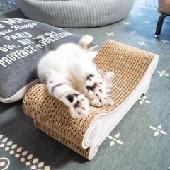 猫/猫のいる暮らし/猫との生活/スコティッシュ お気に入りの爪切りの上でバンザーイ!クネ…