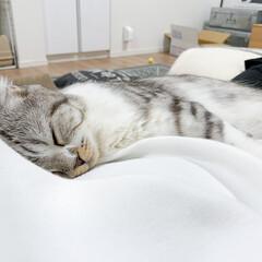 猫/猫との暮らし/猫のいる生活/スコティッシュ 久しぶりに飼い主のお腹の上でまったり眠る…