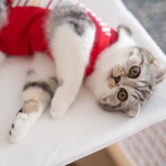 うちの子ベストショット/猫/スコティッシュ/猫との暮らし/猫との生活 猫ケージの上でゴロゴロする愛猫ぐう。服を…(1枚目)
