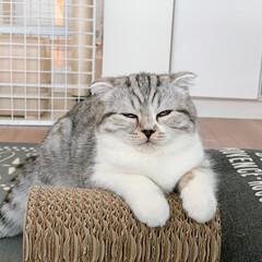 猫派/猫との生活/猫と暮らす/スコティッシュフォールド/寝顔 ぐうの変顔シリーズ。 寝始めて、深い眠り…