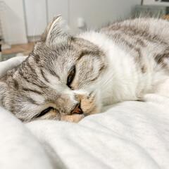猫/猫のいる暮らし/猫との生活/スコティッシュ 飼い主のお腹でまったり中の愛猫ぐう。とろ…