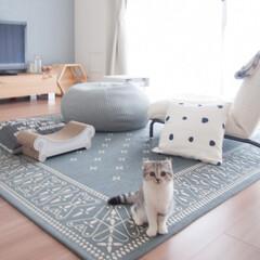 猫派/猫との暮らし/猫とインテリア/猫との生活/スコティッシュフォールド 珍しくお座りしてる愛猫ぐうの写真。常に床…