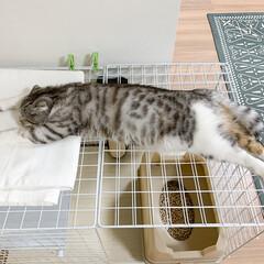猫/猫との暮らし/猫にいる生活/スコティッシュ/100均 100均アイテムで作った猫ケージの上でお…