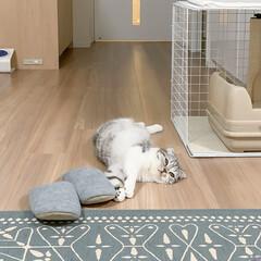 猫/猫のいる暮らし/猫との生活/スコティッシュフォールド 猫が転がってるいつもの風景。床暖房が気持…