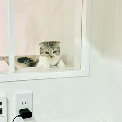 猫/猫との暮らし/猫のいる生活/スコティッシュ 愛猫ぐうが、キッチンの窓の向こう側に設置…