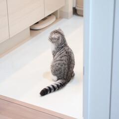猫派/猫との暮らし/猫のいる生活/スコティッシュフォールド/猫好き 猫のフォルムが好きです。この背中の丸み、…