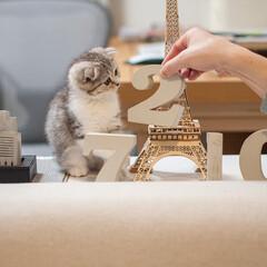 うちの子ベストショット/猫/スコティッシュ/子猫/猫と暮らす たった3週間ほど前の写真なのに、なんだか…