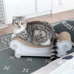 猫/猫との暮らし/スコティッシュ/猫のいる生活 生後8ヶ月半。体重もウチに来た頃の3倍!…