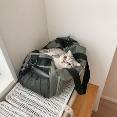 猫との生活/猫と暮らす/スコティッシュフォールド/猫 キャリーバッグのメッシュが気持ち良いのか…