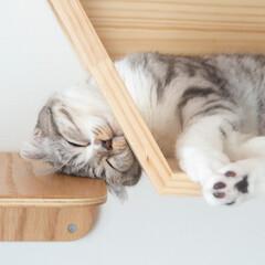 猫/猫との暮らし/猫のいる生活/スコティッシュ キャットウォークの六角ハウスの横にはステ…