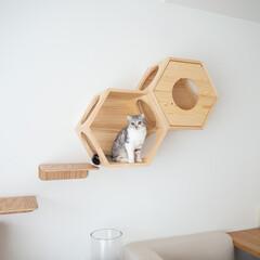 猫/キャットウォーク/猫とインテリア/猫のいる生活/スコティッシュ 壁にキャットウォークのステップと六角ハウ…