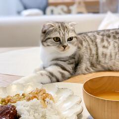 猫/猫との暮らし/猫のいる生活/スコティッシュ アタシの席のテーブルマットから何とか猫を…