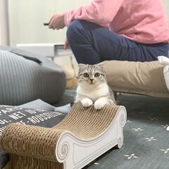 猫/猫のいる暮らし/猫との生活/スコティッシュ 爪とぎにちょこんと手を乗せてジッとアタシ…