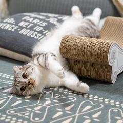猫/猫のいる暮らし/猫のいる生活/スコティッシュ 今日もクッションと爪とぎの間に挟まってる…