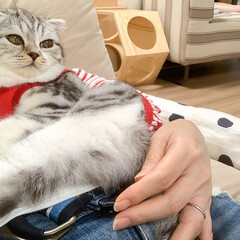 うちの子ベストショット/猫/猫のいる生活/猫と暮らす/スコティッシュフォールド 夕飯あとのまったりタイム。ソファーに座る…