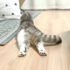 猫/猫との暮らし/猫のいる生活/スコティッシュ 猫じゃらしで散々遊んだあと、疲れて床に伸…
