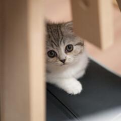 うちの子ベストショット/スコティッシュフォールド/子猫/スコティッシュ/猫 初めて猫を飼い始めました。スコティッシュ…