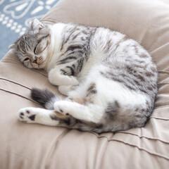 猫/スコティッシュ/猫との暮らし/猫のいる生活 最近またソファーでお昼寝するのがブームに…