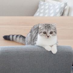 猫/スコティッシュフォールド/猫との暮らし/猫のいる生活 愛猫ぐう。生後5ヶ月になりました。生後2…