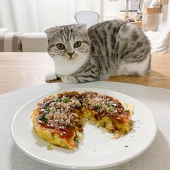 猫/猫との生活/猫のいる暮らし/スコティッシュ 一人ランチのお好み焼きも、猫を眺めながら…