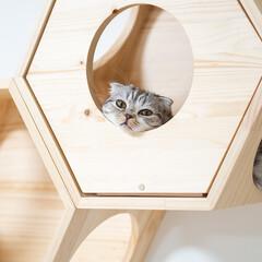 猫/猫との暮らし/猫のいる生活/スコティッシュ 六角ハウスの穴にアゴを乗せてまったりする…