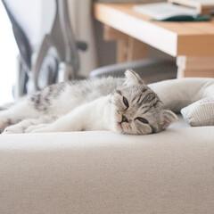 猫/スコティッシュフォールド/子猫/猫のいる暮らし/猫との生活 今にも寝そうな顔でぼーっとしてる愛猫ぐう…