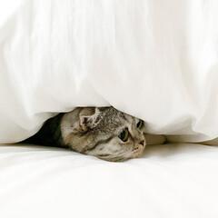 猫/猫との暮らし/猫のいる生活/スコティッシュフォールド 寒くなってきたので、ぐうは飼い主のベッド…