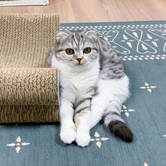 猫/猫との生活/猫のいる暮らし/スコティッシュ/猫のいる幸せ 爪とぎに寄りかかってコチラをじっと見てま…