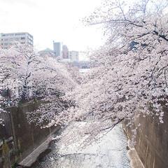 春の一枚/桜/満開/お花見/お出掛け/お花見スポット 近所の桜です。 川沿いに咲き誇る満開のソ…