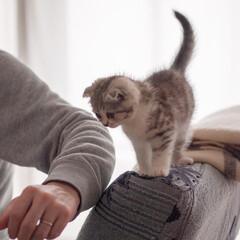 うちの子ベストショット/猫/子猫/スコティッシュ ウチに来て初日でソファーの背もたれの上に…