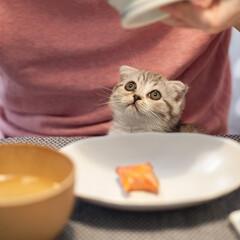 うちの子ベストショット/猫との暮らし/猫/子猫/スコティッシュ/スコティッシュフォールド 人間のご飯中のぐう。ダンナの膝にちょこん…