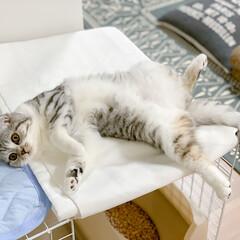猫/猫との暮らし/猫との生活/スコティッシュ ケージの上で超リラックスモードの愛猫ぐう…