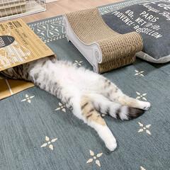 猫/猫との暮らし/猫のいる生活/スコティッシュ ダンボール箱でトンネルを作ってあげたら顔…