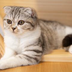 猫/猫のいる暮らし/猫との生活/スコティッシュ キャットウォークを壁に取り付けようと思っ…(1枚目)