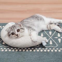 うちの子ベストショット/猫との暮らし/猫と暮らす/猫/スコティッシュ ケリケリピローを枕にくつろぐ猫。 カーブ…