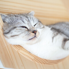 猫/スコティッシュ/猫のいる暮らし/猫との生活 キャットウォークの猫ハウスが超お気に入り…